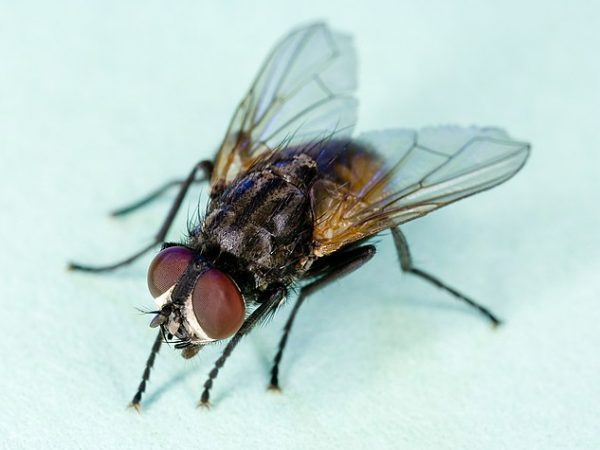 633px-Common_house_fly,_Musca_domestica
