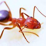 ant pest control Adelaide