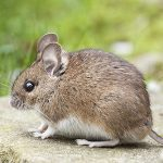 rodent pest control Adelaide